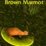 Brown Marmot